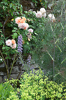 Details of a summer border with climbing rose (Rosa), fennel (Foeniculum vulgare), larkspur (Delphinium) and lady's mantle (Alchemilla mollis)