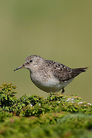 Temminckstrandläufer, Temminck-Strandläufer, Calidris temminckii, Temminck's stint