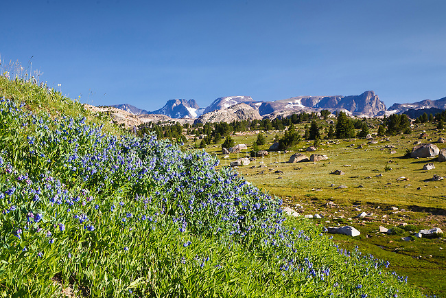 Bluebell wildflowers near Beartooth Butte in the beartooth mountain range in Wyoming