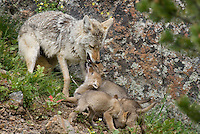 Wild Coyotes (Canis latrans)--mother with young pups.  Pups are hoping mom will regurgitate food to them.  Western U.S., June.