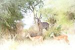 Gazelle, Impala, Dik Dik, Topi, etc.*