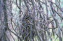 Nest of White-browed Babblers under construction in dead branches of a wattle tree, with one babbler approaching nest, Chiltern-Mt Pilot National Park, VIC