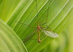 Crane Fly perched on Corn Lily wildflowers