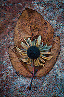 Black-eyed Susan flower going to seed sits on a fallen leaf atop a rock at the small park  at Hoover Reservoir.