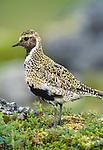 Golden plover, Iceland