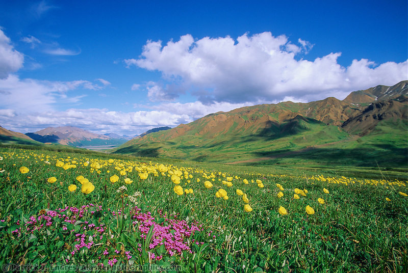 Summer wildflowers, moss campion and Alaska poppies in bloom in Highway Pass in Denali National Park, Alaska.