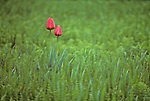 Two red tulips in green grassy field Mount Vernon Washington State USA