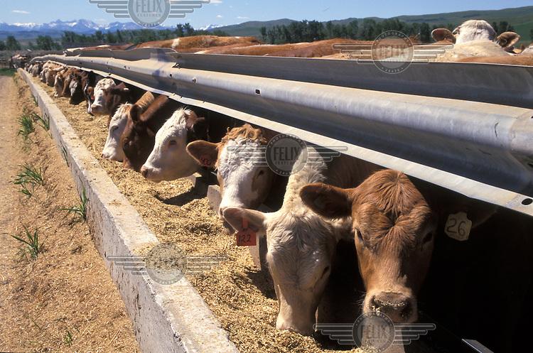 Cattle in feed-lot.