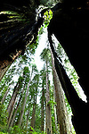 Redwoods seen from within a burned, but living redwood, Lady Bird Johnson Grove, Redwood National Park