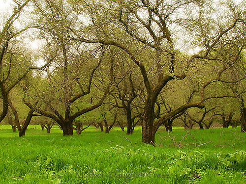 Spring orchard, apples, Northeast kingdom Vermont
