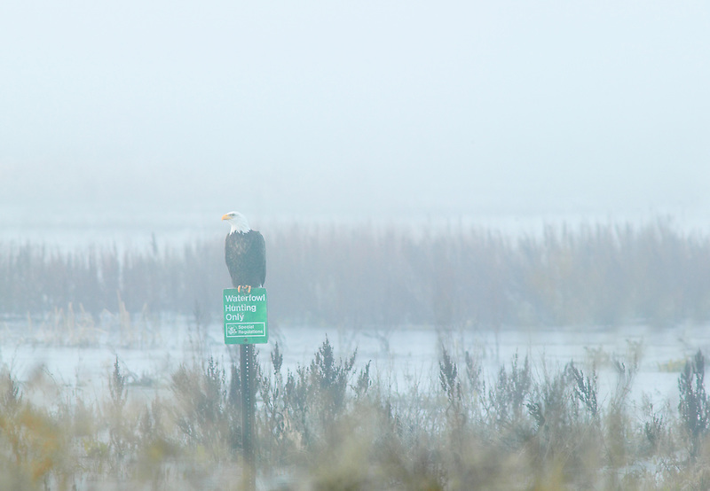 "Balds Eagel on pearch with sign ""Waterfowl Hunting Only"". Lower Klamath Fall National Wildlife Refuge. California"