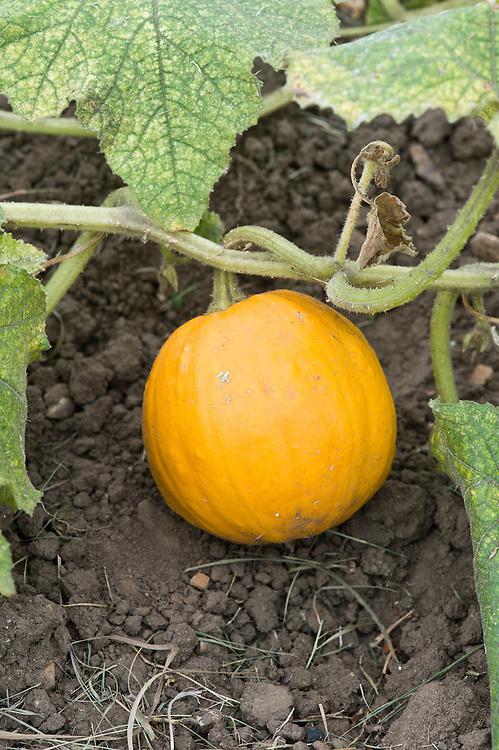 'Sucrette' squash, mid September.