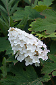 White Oak-leaf hydrangea (Hydrangea quercifolia), early August.