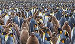 South Georgia Island (British Overseas Territory) , king penguin (Aptenodytes patagonicus)