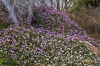Lantana montevidensis (aka L. sellowiana)<br /> Purple Trailing Lantana flowering drought tolerant groundcover, Living Desert, Palm Springs, California.