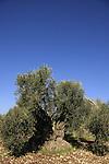 Israel, Lower Galilee. Ancient Olive tree in Shfaram