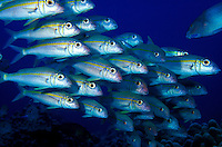 The Yellowfin Goatfish (Mulloidichthys vanicolensis) is commonly seen swimming in schools on the coral reefs of Hawaii. Hawaiian name is Weke-ula.