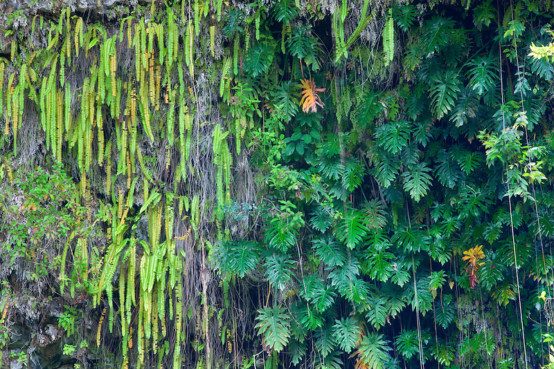 Ferns in Fern Grotto. Kauai, Hawaii