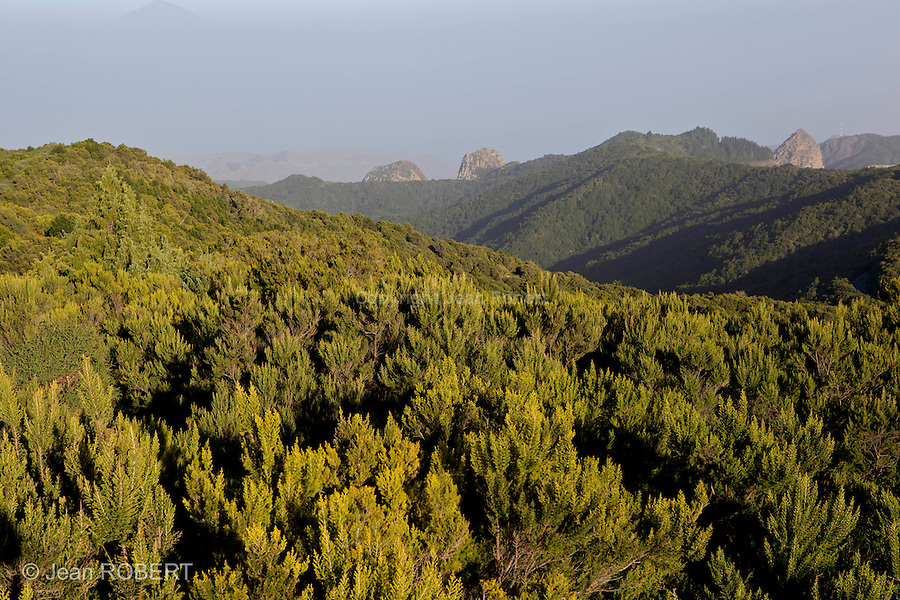 Forêt de Laurisylve du parc national de Garajonay vu depuis le sommet de Gomera (Alto de Garajonay, 1487 m) Les forêts de laurisylve de Macaronésie sont des reliques d'un type de végétation qui couvrait à l'origine la plupart du bassin de la Méditerranée lorsque le climat de la région était plus humide...canary laurisilva viewed from the Alto de Garajonay, highest summit of Gomera  (1487 m).The Garajonay NationalPark  protects a unique forest ecosystem , the canary laurisilva, which originally thrived in the mist-filled zones of the northen solpes of the mountainous western canary islands..canary laurisilva is a genuine  living fossil, the remains of subtropical forests which grew along the banks of what we now know as the mediterranean sea, some millions  of years ago int he teritary period..Garajonay is the most extensive and best preserved surviving representative of this ecosystem and contains half the total surface area of mature laurisilva found in the Canary archipelago..