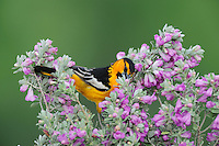 Bullock's Oriole (Icterus bullockii), male feeding from Texas Sage (Leucophyllum frutescens),  Laredo, Webb County, South Texas, USA