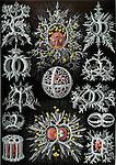 Stephoidea (Zooplankton), by Ernst Haeckel, 1904