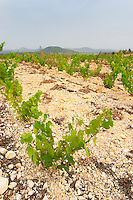 Prieure de St Jean de Bebian. Pezenas region. Languedoc. Vine leaves. Young vines. Young Roussanne vines in calcareous soil in the area of Frigolas. Terroir soil. France. Europe. Vineyard. Calcareous limestone.