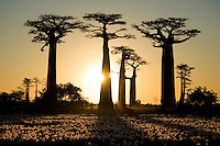 Tourists walking on Baobabs Alley at sunset with lily strewn rice field in the foreground.<br />
