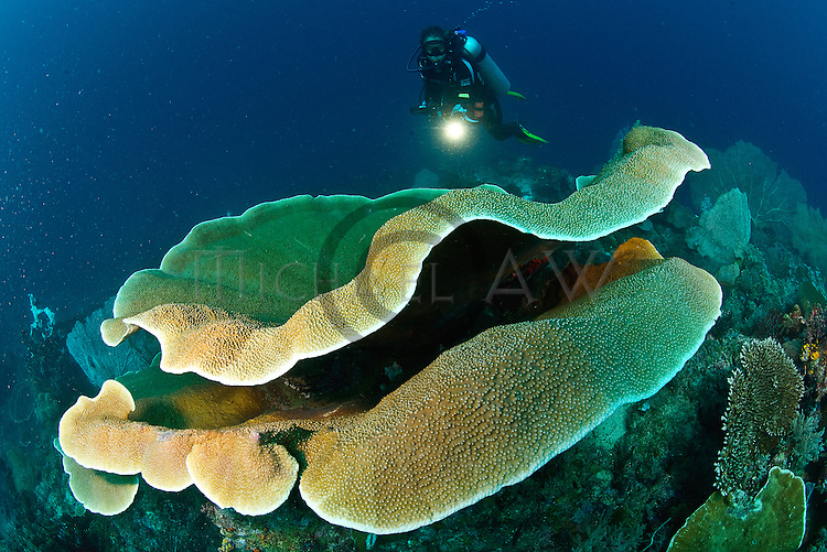 East Indonesia, Raja Ampat, large plate coral