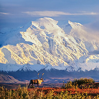 Bull caribou walks in the autumn tundra in front of the North face of Mt. Denali, Denali National Park, Alaska.