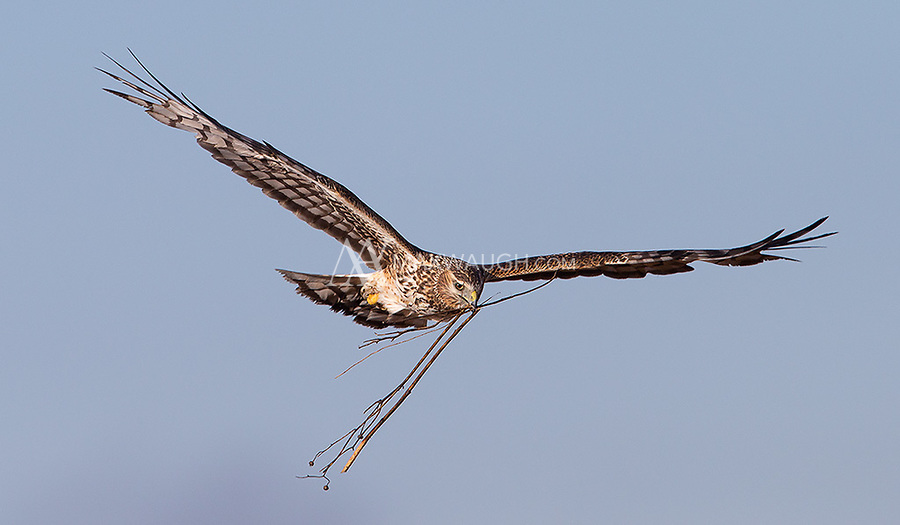 A Northern harrier flies in with nesting materials.
