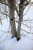 USA, Utah, Park City, detail of an Aspen Tree at the Utah Olympic Park