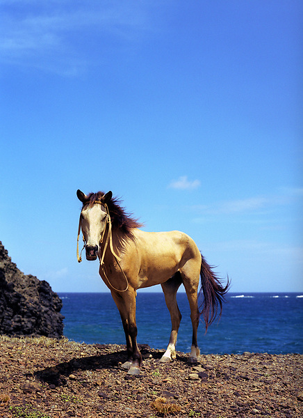 A horse rests on a cliff along the Atlantic coastline. Beausejour, Gros-Islet, St. Lucia, W.I. March 22, 2006. (Matthew Wakem/Aurora Photos)