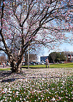 Japanese Magnolia petal fall.<br />  (photo by Sarah Tewolde / &copy; Mississippi State University)