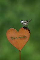 Weidenmeise, sitzt auf Garten-Deko, Weiden-Meise, Mönchsmeise, Meise, Meisen, Poecile montanus, Parus montanus, willow tit. Willkommen, Willkommens-Herz