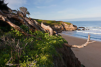 A tangle of tree trunks stands on the bluff overlooking the beach and ocean waves at Montara State Beach, California.