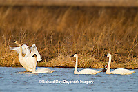 00759-00307 Four Tundra Swans (Cygnus columbianus) in wetland at Prairie Ridge State Natural Area, Marion Co., IL