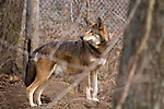 Mexican Red Wolf