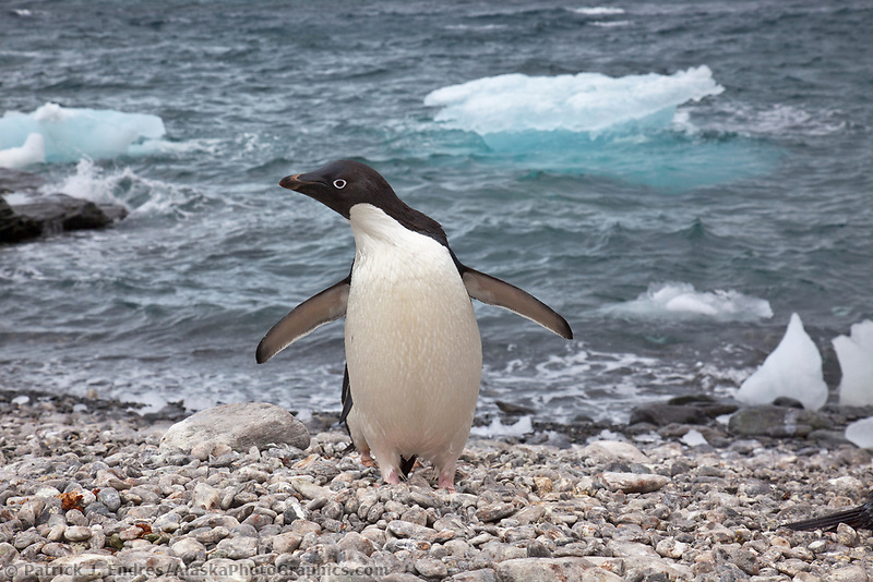Adelie penguin, icebergs at Shingle Cove, Coronation Island, South Orkney Islands, Southern Ocean