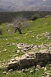Israel, Upper Galilee, Walnut tree (juglans regia ) at Hurvat Beck on Mount Meron, Beth Jan is in the background