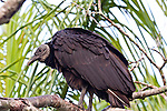 The black vulture is a common sight in the Everyglades and are a vital part of the ecosystem.