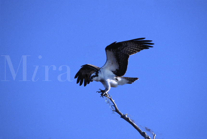 An Osprey, Pandion haliaetus, with nesting material, alighting on tree branch at Blue Cypress Lake in Florida.