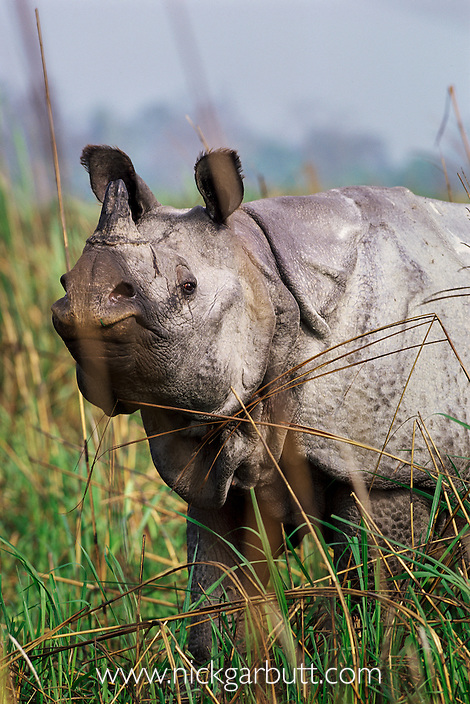 Male Indian One-horned Rhinoceros (Rhinoceros unicornis). Kaziranga National Park, Assam, India