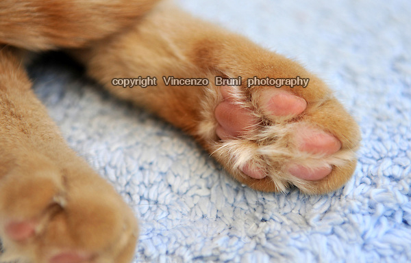 Close up of the left rear paw of a red tabby cat