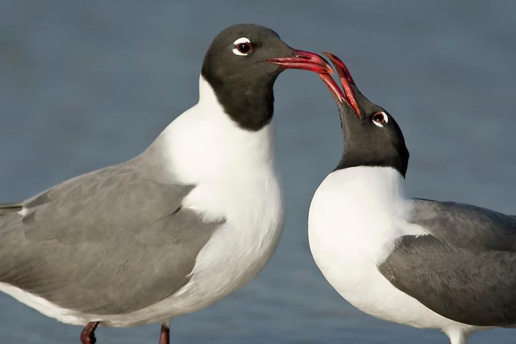 Laughing Gull - Larus atricilla