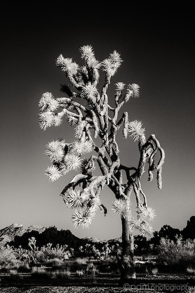 Black and white of single Joshua Tree taken in infrared.