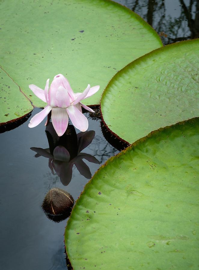 LORETO, PERU - CIRCA OCTOBER 2015:  Water Lilies in the Peruvian Amazon