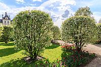 France, Loir-et-Cher (41), Cheverny, château et jardin de Cheverny en avril, le jardin des apprentis, pommiers à fleurs 'Evereste' (Malus 'Evereste')