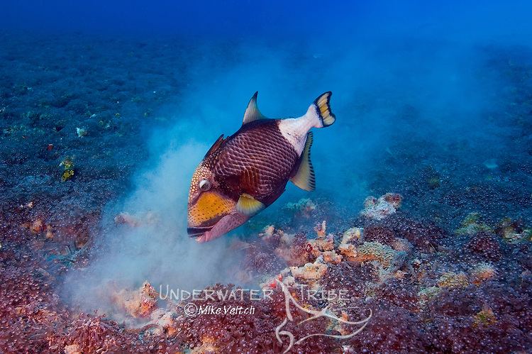 Titan triggerfish, Balistoides viridescens, rummaging around on the bottom looking for food, Yap, Federated States of Micronesia, Pacific Ocean