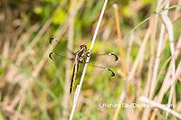 06617-00514 Spangled Skimmer (Libellula cyanea) female Glass Lizard Fen Ripley Co. MO