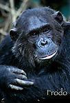 Frodo, portrait<br /> Male Eastern Chimpanzee, Pan troglodytes schweinfurthii<br /> Gombe Stream National Park, Tanzania 1997